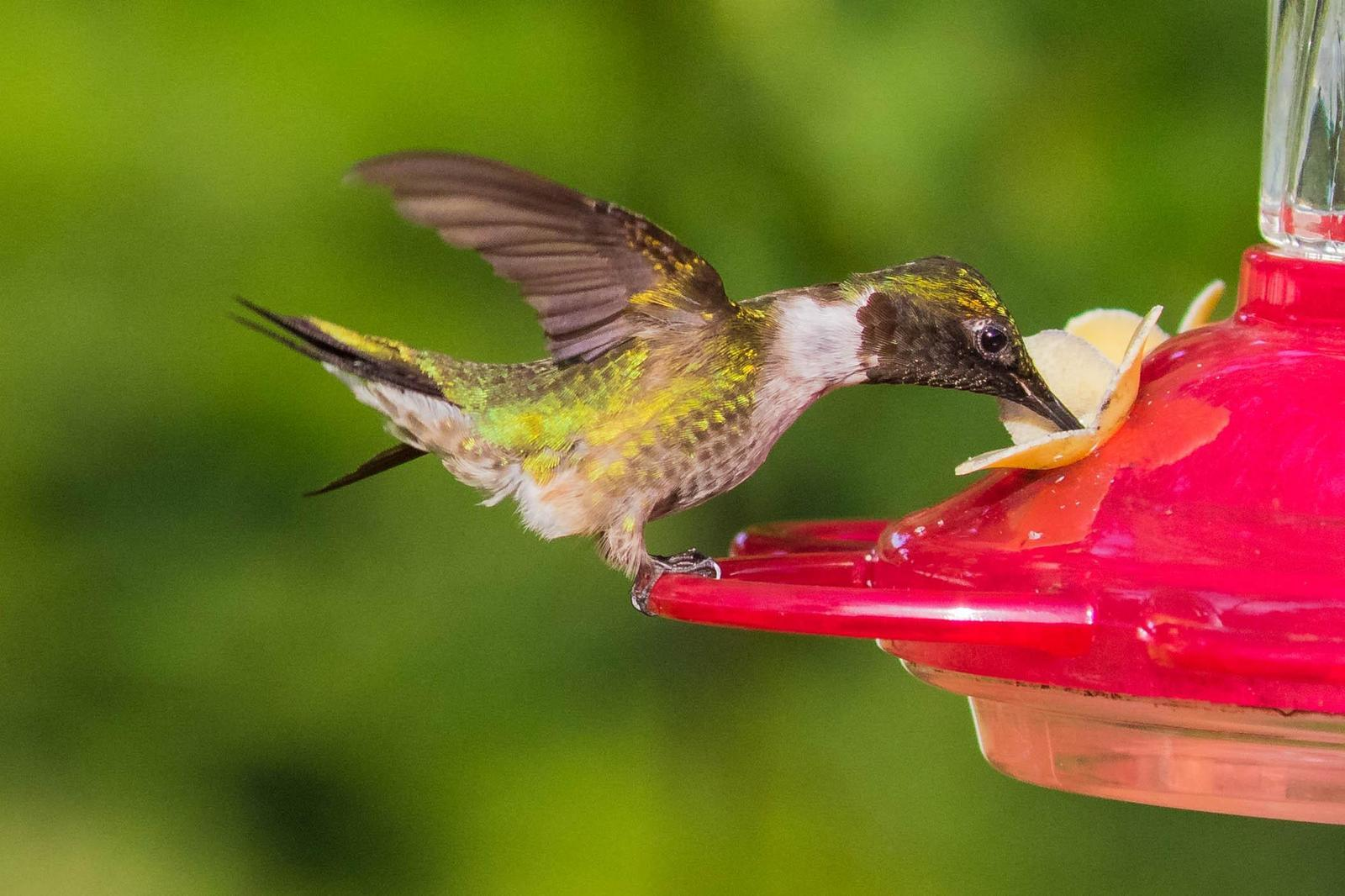 Ruby-throated Hummingbird Photo by Terry Campbell