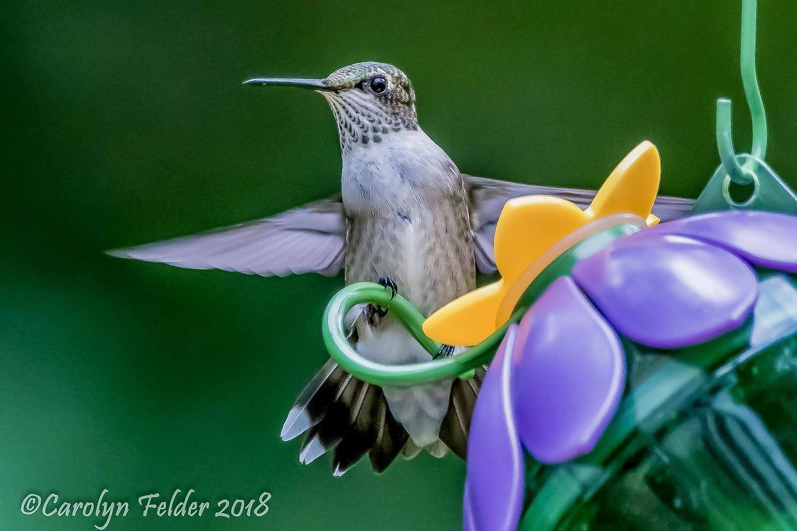 Ruby-throated Hummingbird Photo by Carolyn Felder
