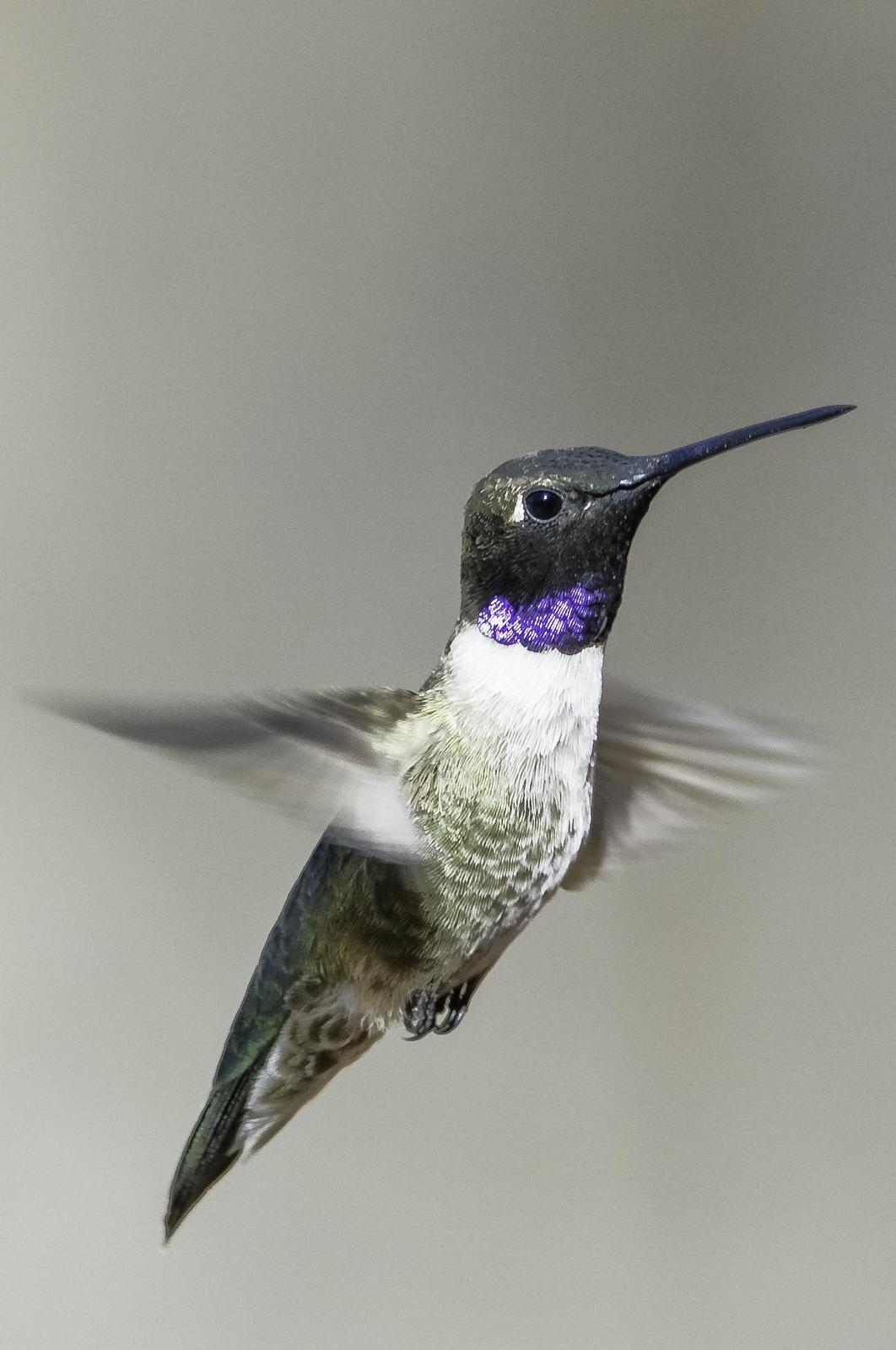 Black-chinned Hummingbird Photo by Mason Rose