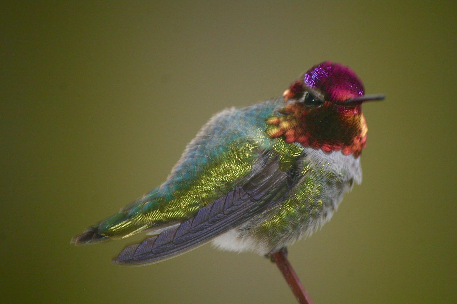 Anna's Hummingbird Photo by Ted Goshulak