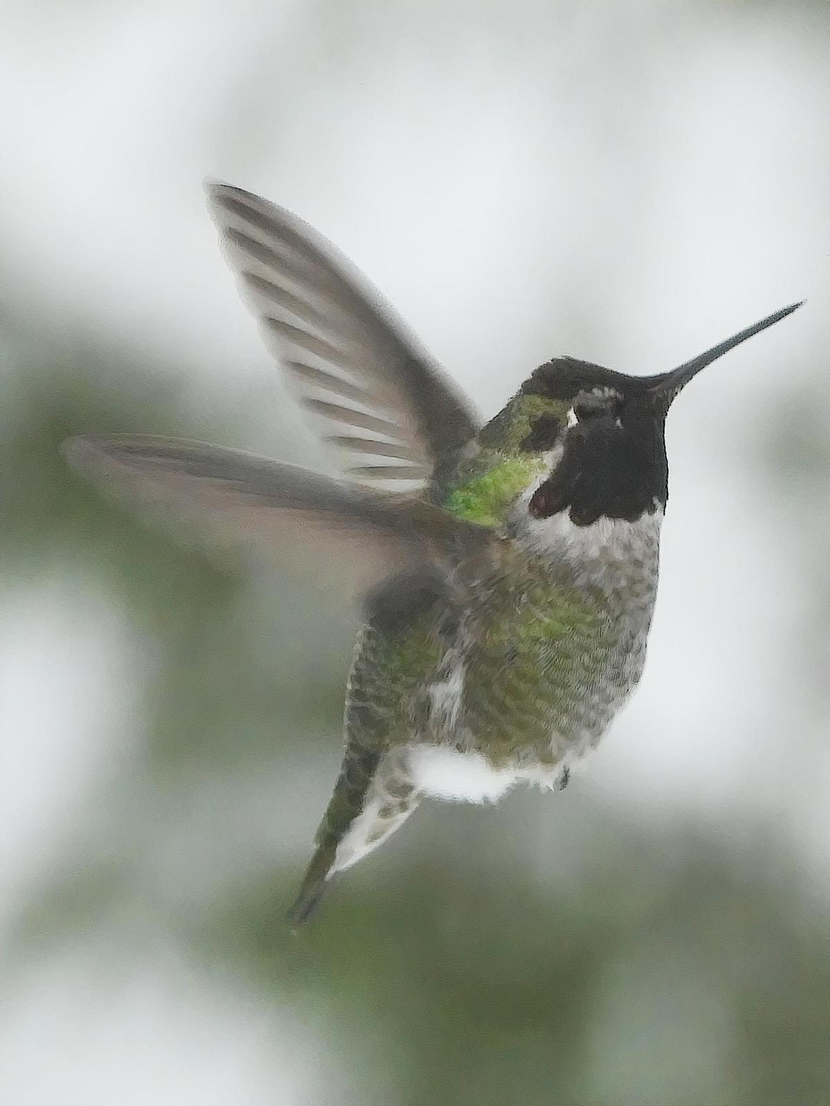 Anna's Hummingbird Photo by Dan Tallman