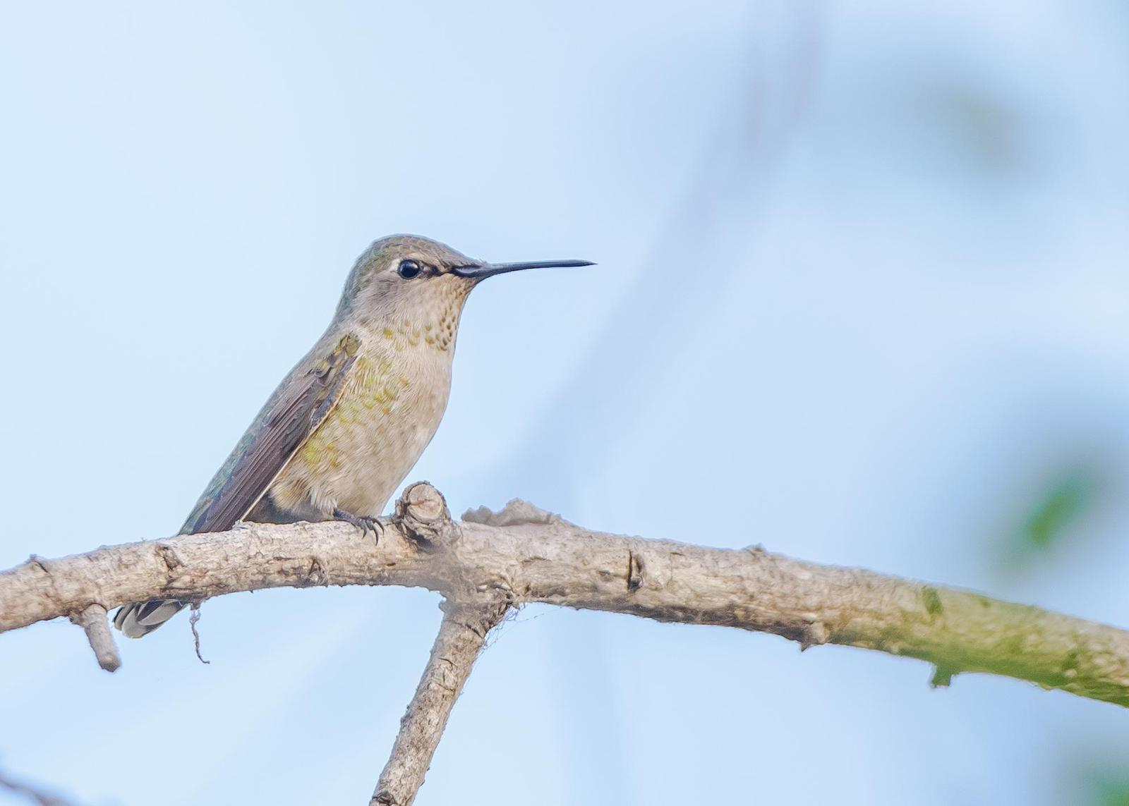 Anna's Hummingbird Photo by Keshava Mysore