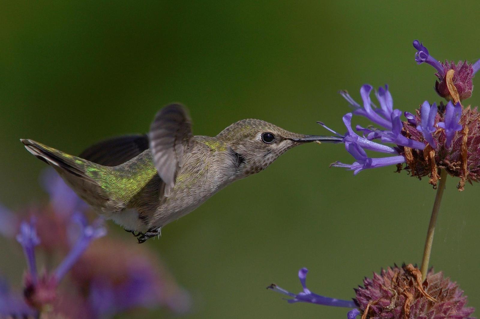 Anna's Hummingbird Photo by Digibirdtrek CA