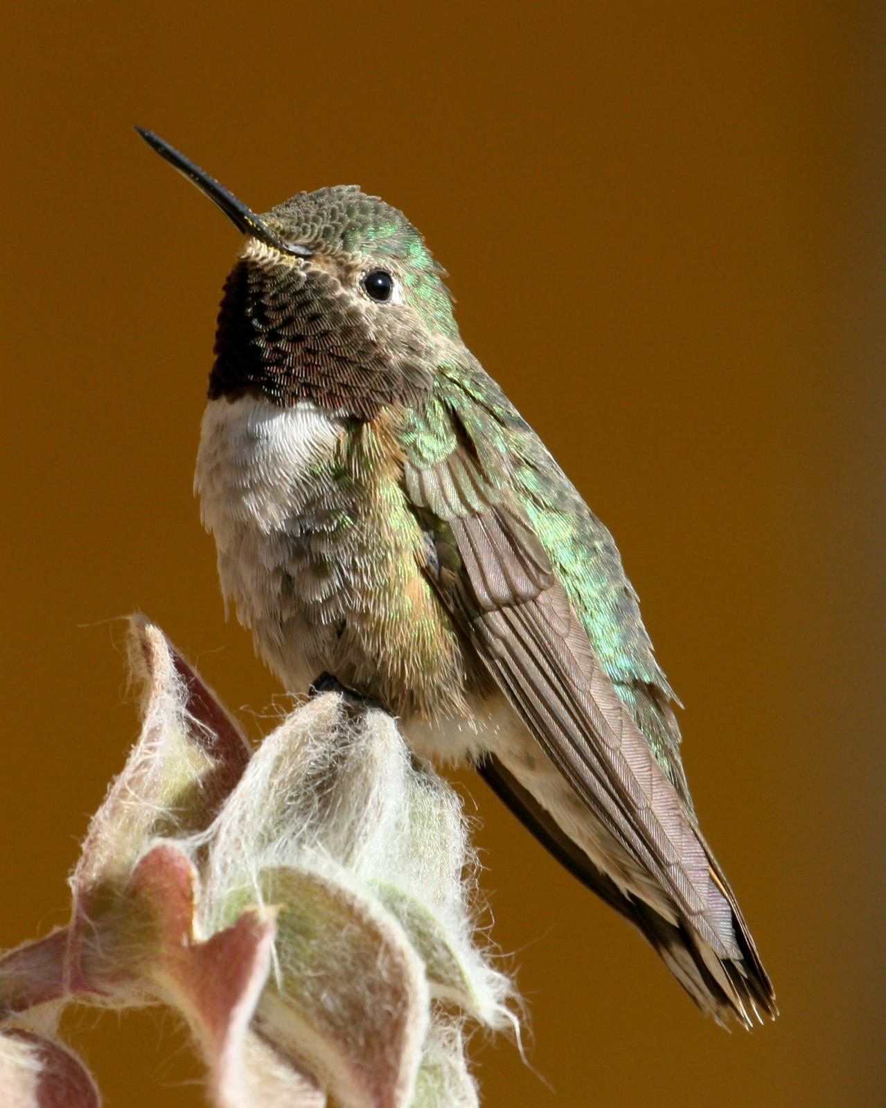 Broad-tailed Hummingbird Photo by Nathan Renn