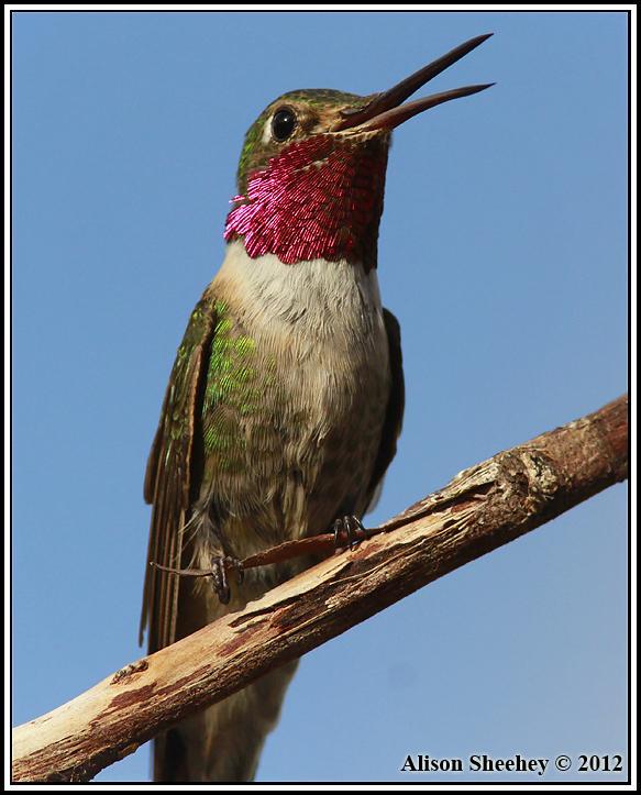 Broad-tailed Hummingbird Photo by Alison Sheehey
