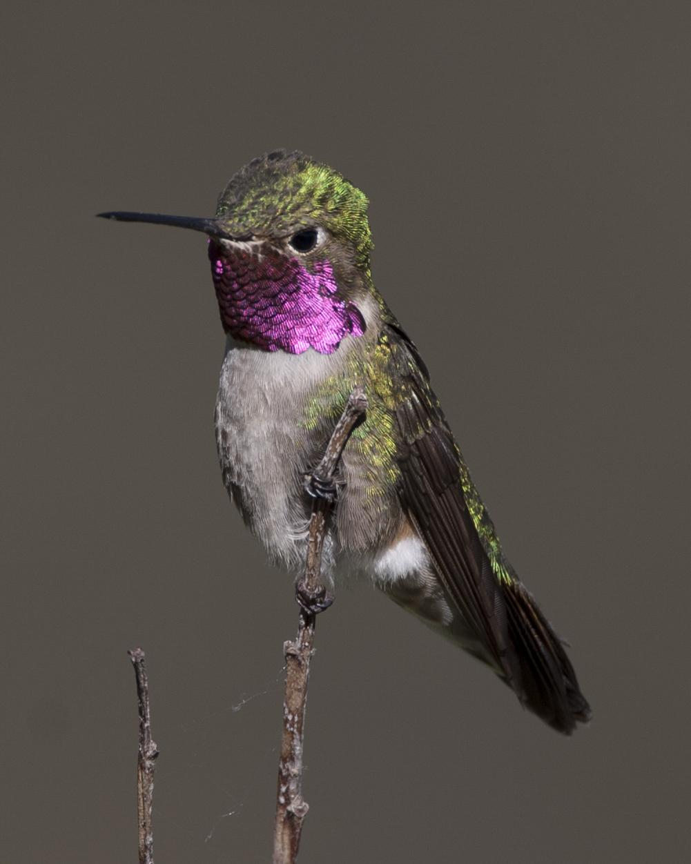 Broad-tailed Hummingbird Photo by Jeff Moore