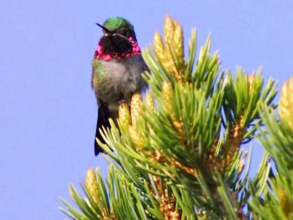 Broad-tailed Hummingbird Photo by Dan Tallman