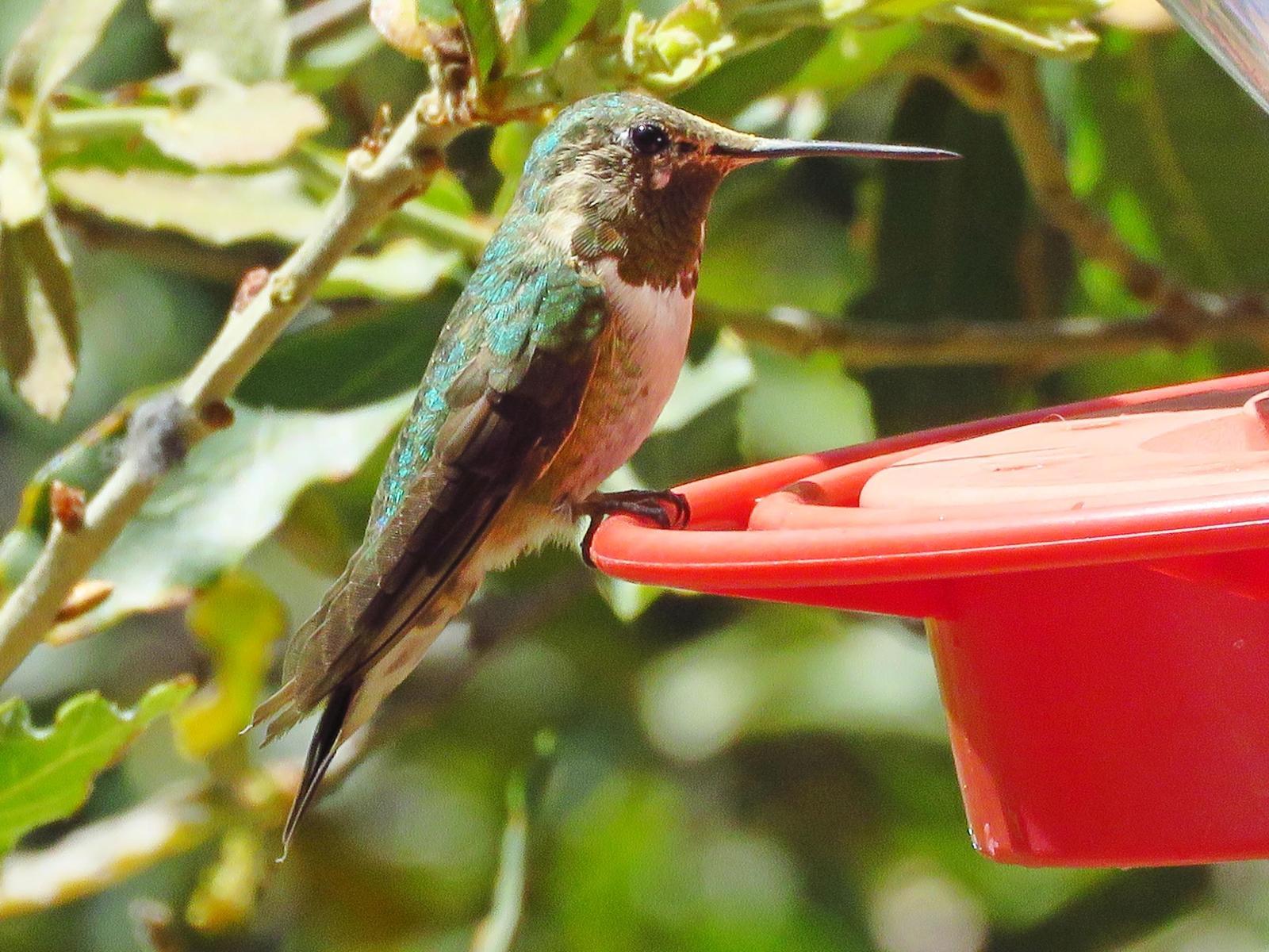 Broad-tailed Hummingbird Photo by Bob Neugebauer