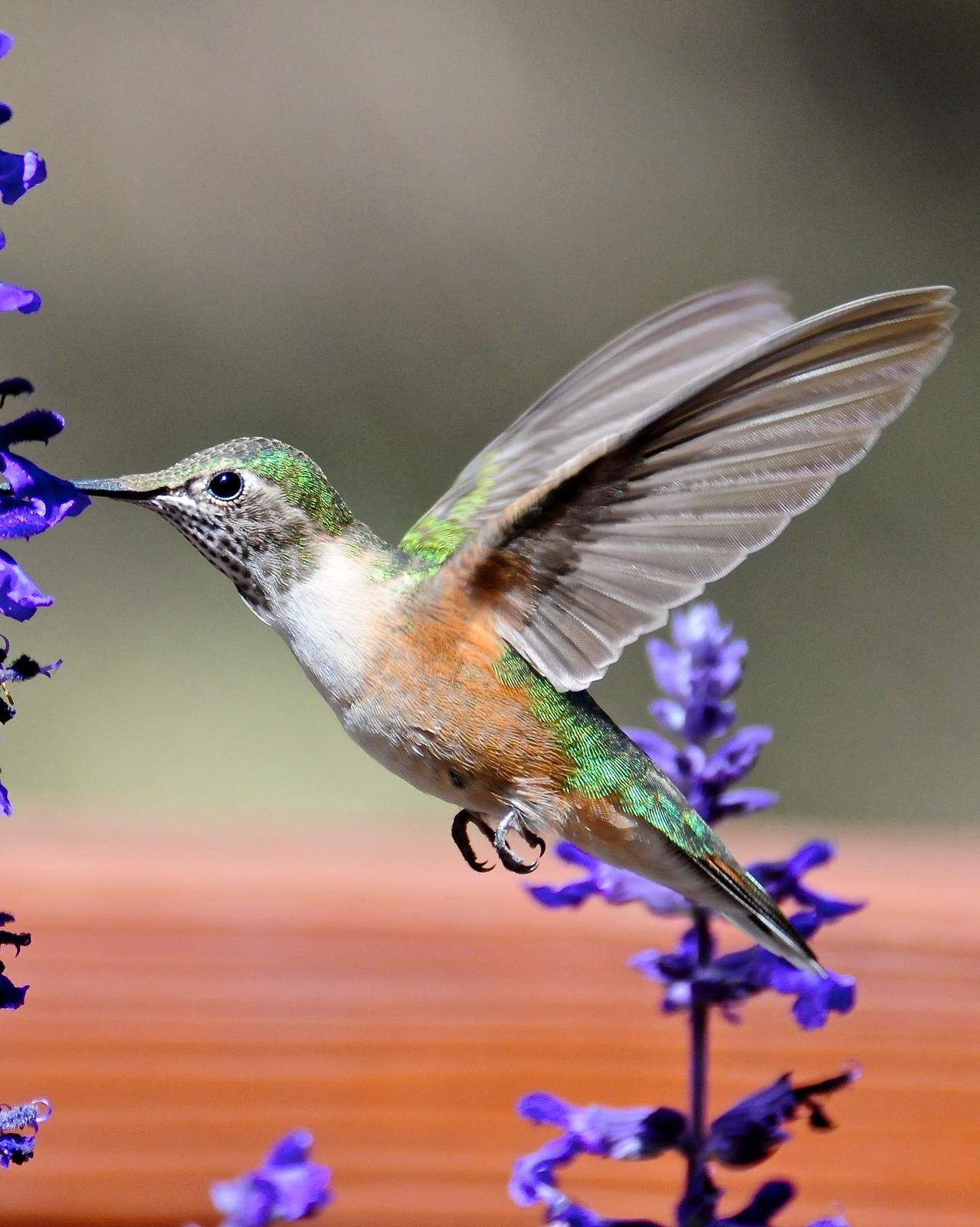 Broad-tailed Hummingbird Photo by Gerald Friesen