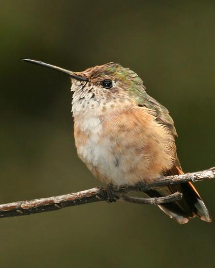 Broad-tailed Hummingbird Photo by Rene Valdes