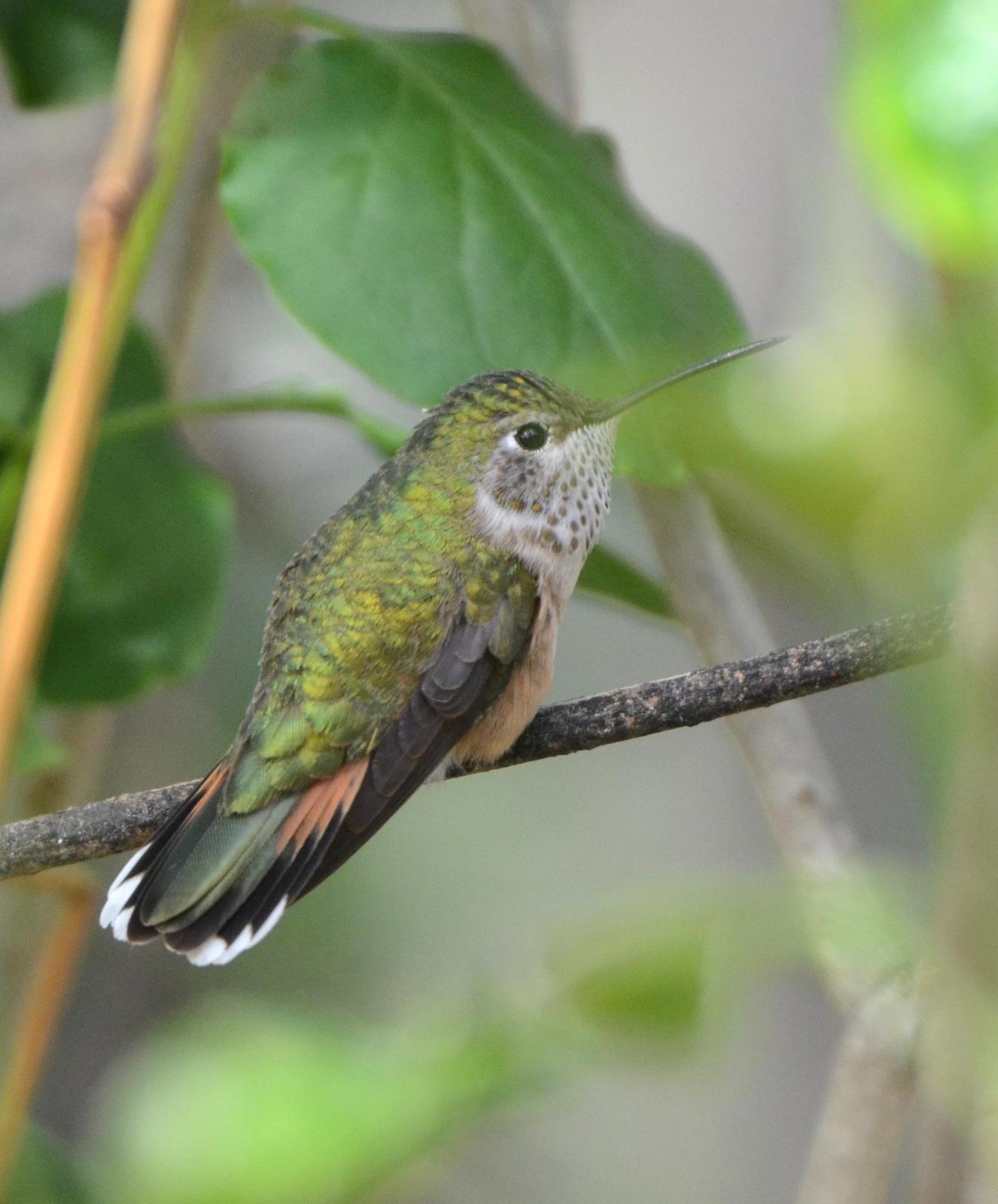 Broad-tailed Hummingbird Photo by Steven Mlodinow