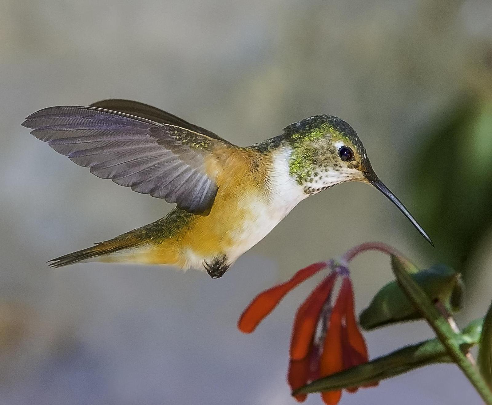 Broad-tailed Hummingbird Photo by Mason Rose