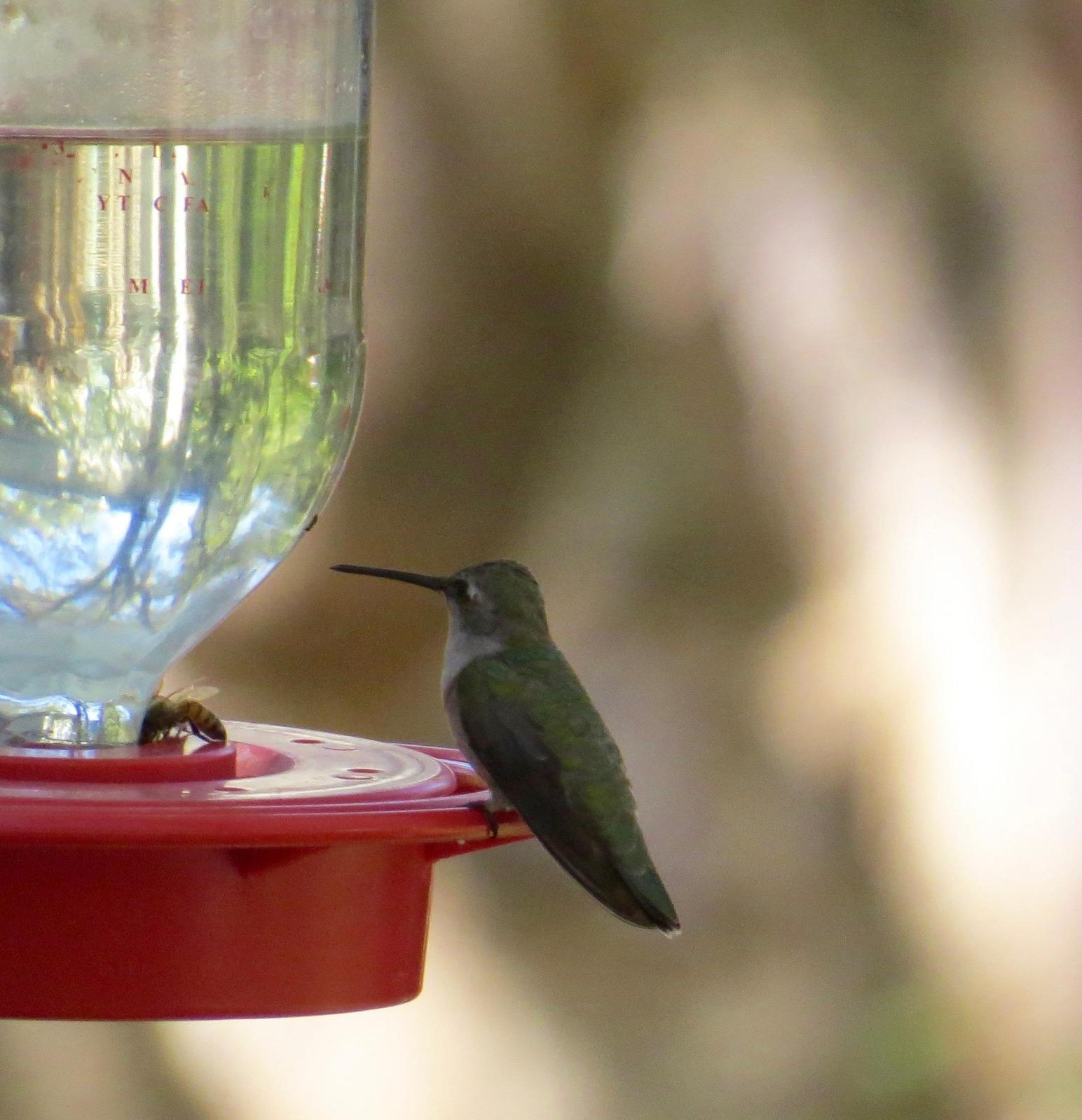 Broad-tailed Hummingbird Photo by Don Glasco