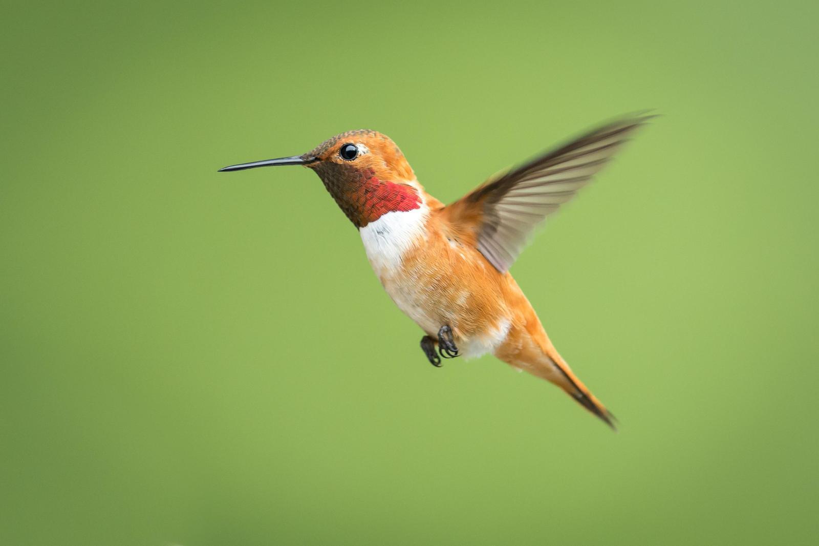 Rufous Hummingbird Photo by Jesse Hodges