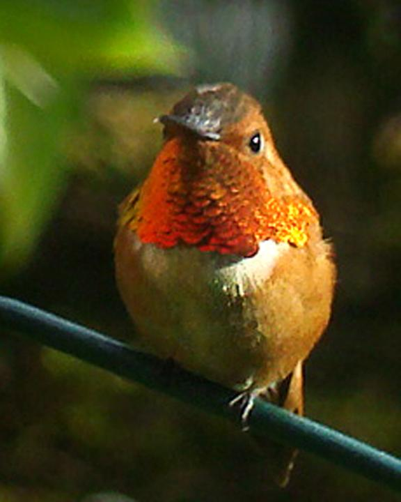 Rufous Hummingbird Photo by Michael Gruskin