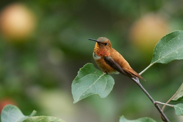 Rufous Hummingbird Photo by Gerald Hoekstra
