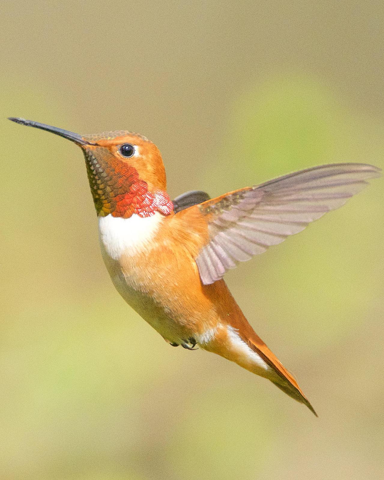 Rufous Hummingbird Photo by Brian Avent