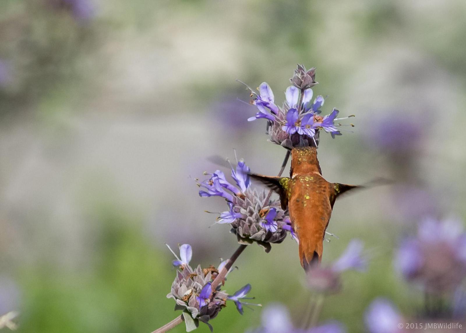 Rufous Hummingbird Photo by Jeff Bray
