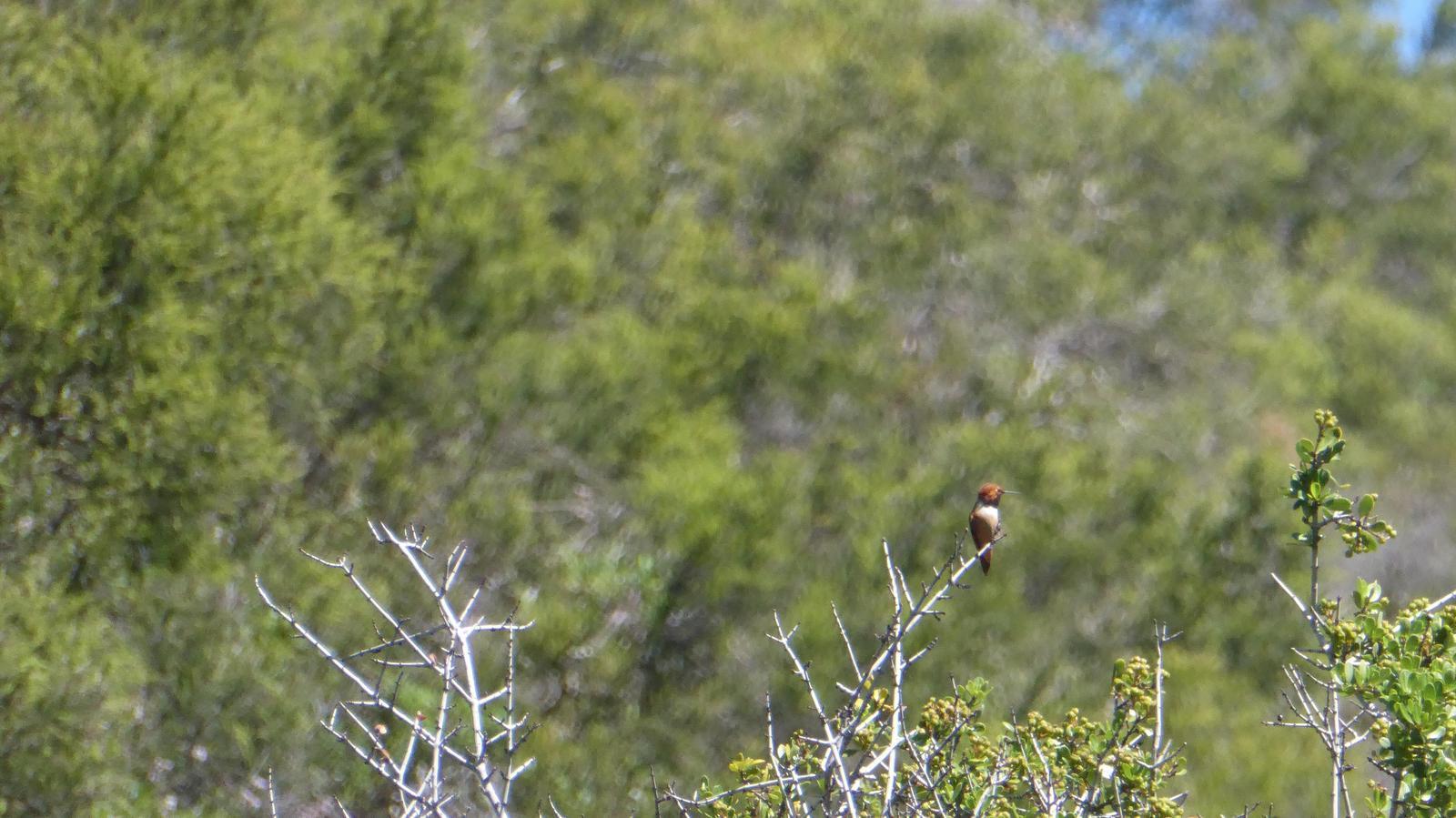 Rufous Hummingbird Photo by Daliel Leite