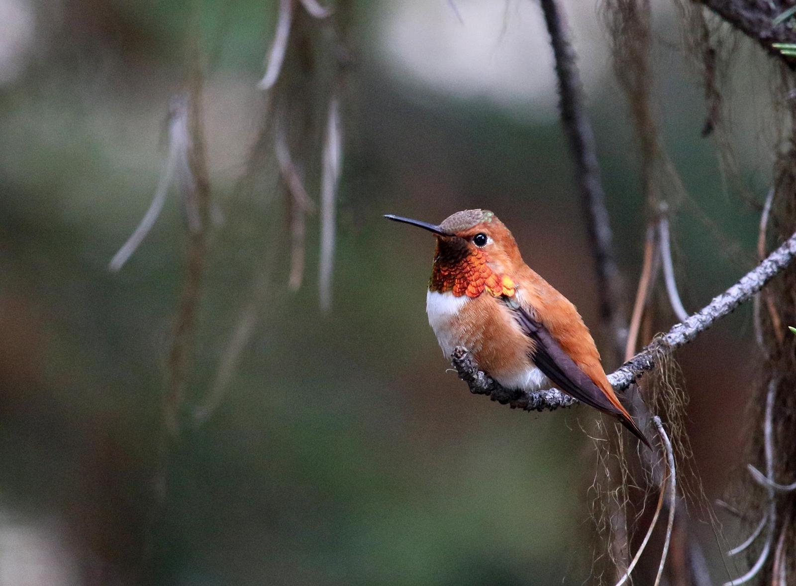 Rufous Hummingbird Photo by Roblyn Brown