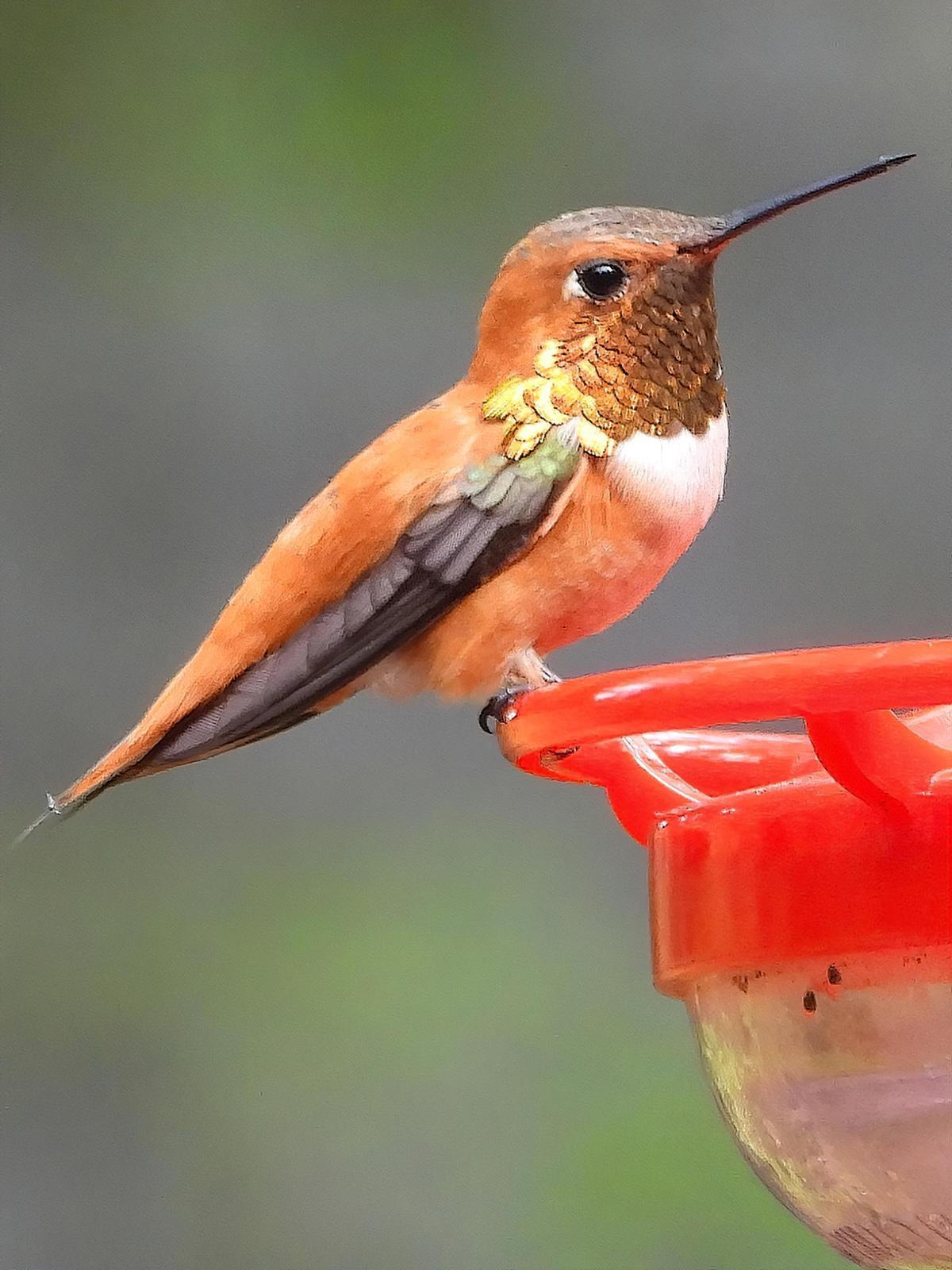 Rufous Hummingbird Photo by Dan Tallman