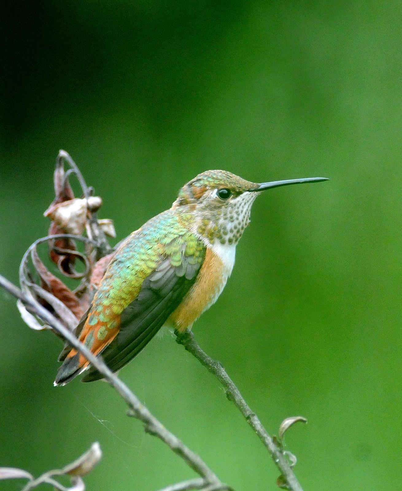 Rufous Hummingbird Photo by Steven Mlodinow