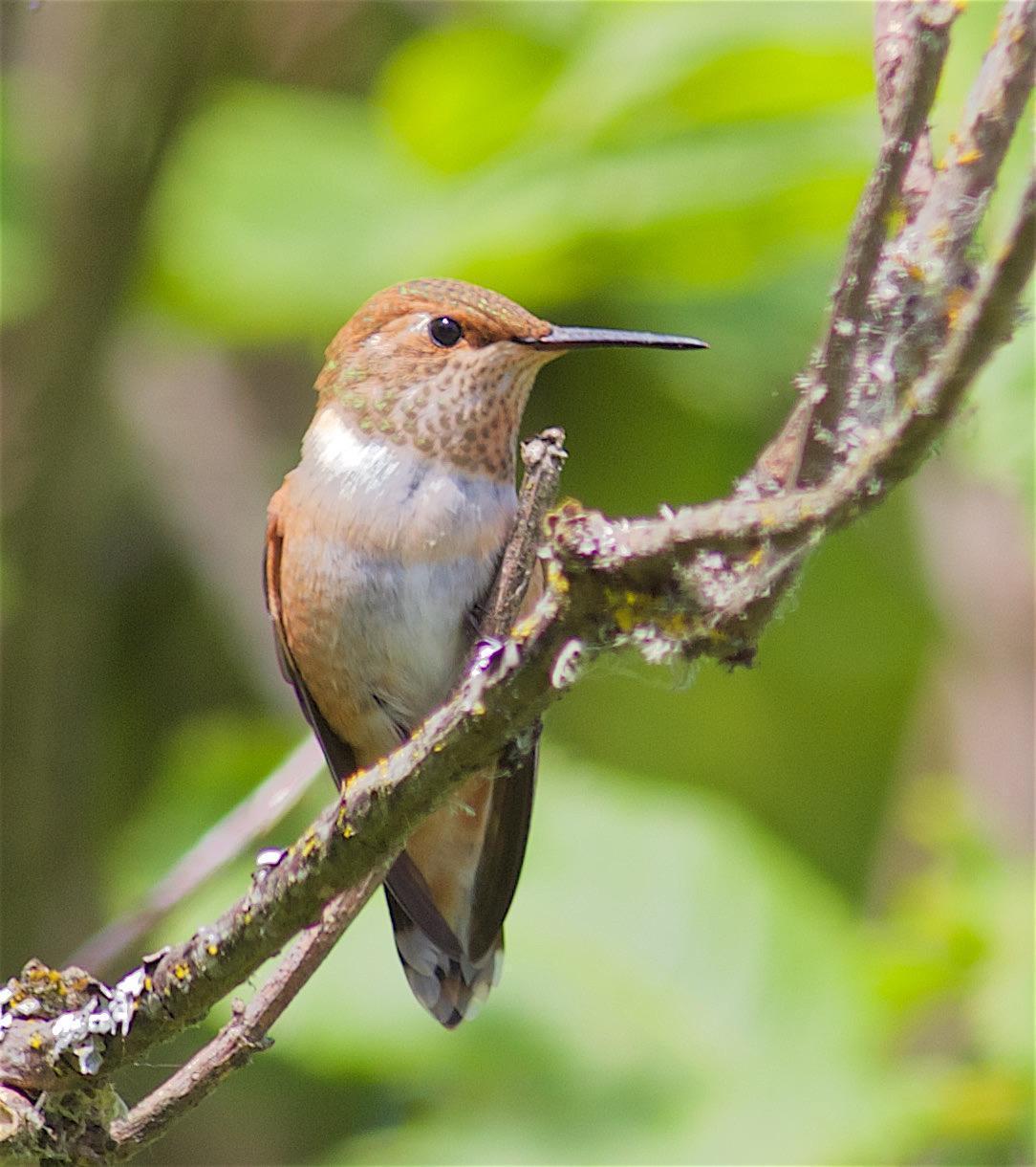 Rufous Hummingbird Photo by Kathryn Keith