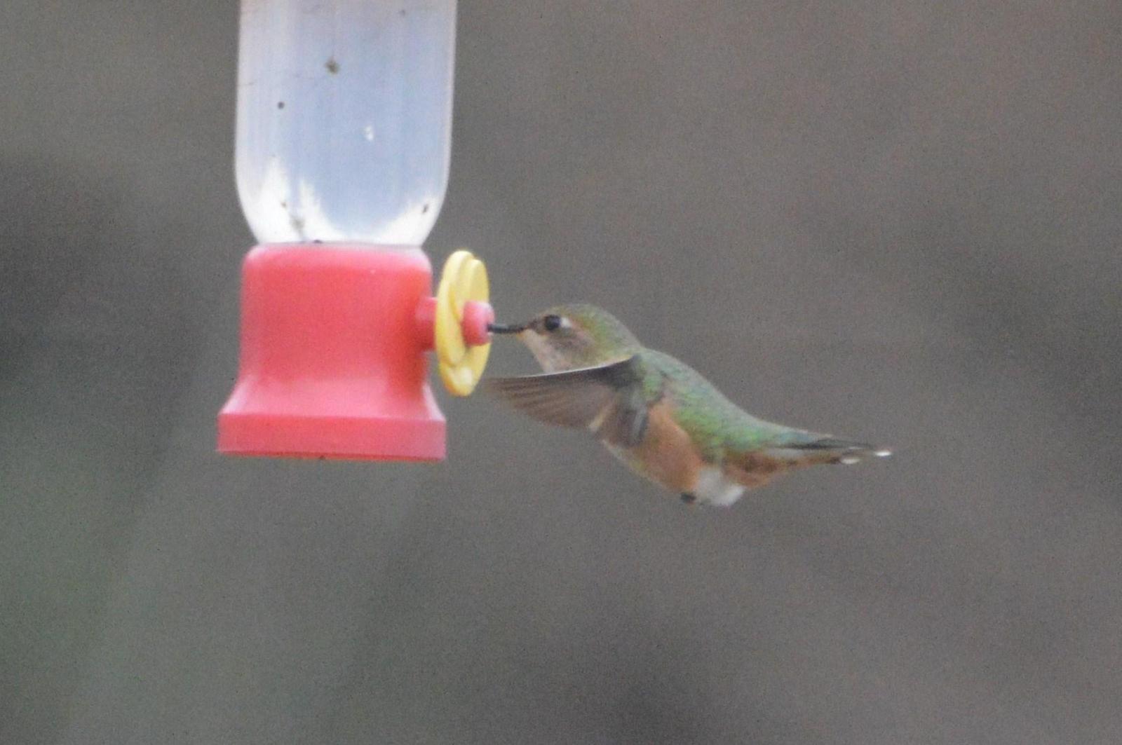 Rufous Hummingbird Photo by Jeannette Piecznski