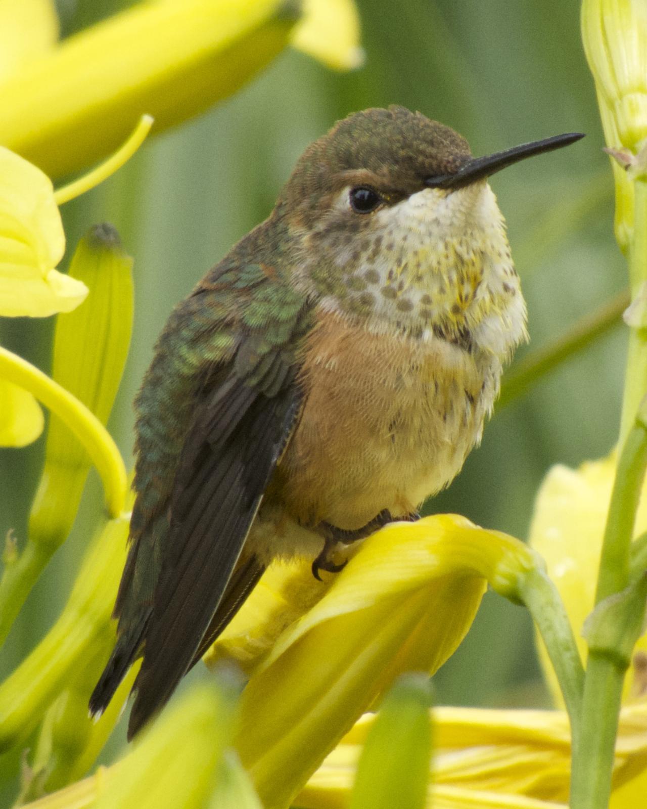 Rufous Hummingbird Photo by Robin Barker