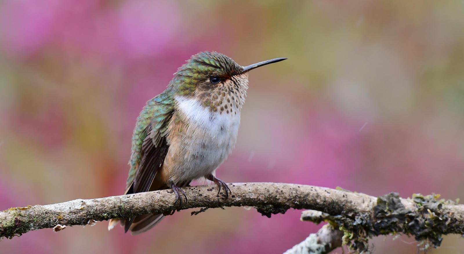 Volcano Hummingbird Photo by Gareth Rasberry