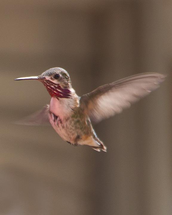 Calliope Hummingbird Photo by Mat Gilfedder