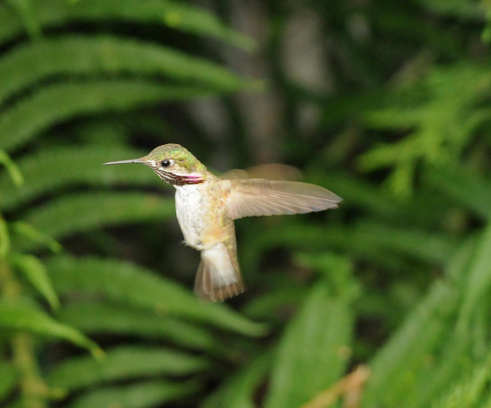 Calliope Hummingbird Photo by Steven Mlodinow