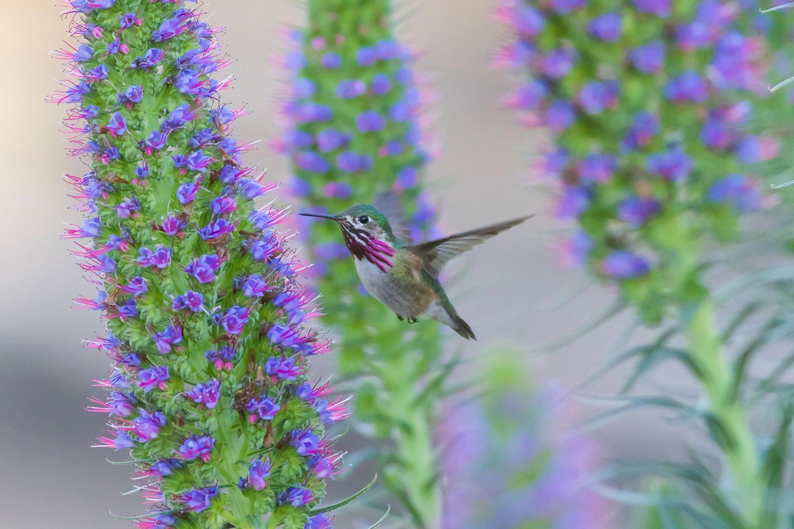 Calliope Hummingbird Photo by Tom Ford-Hutchinson