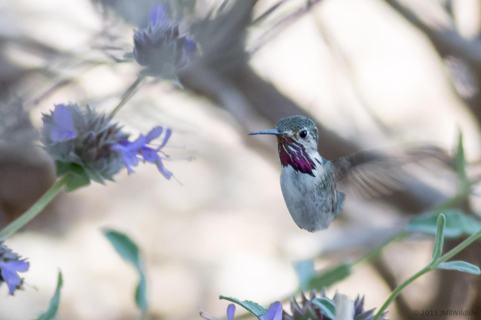 Calliope Hummingbird Photo by Jeff Bray