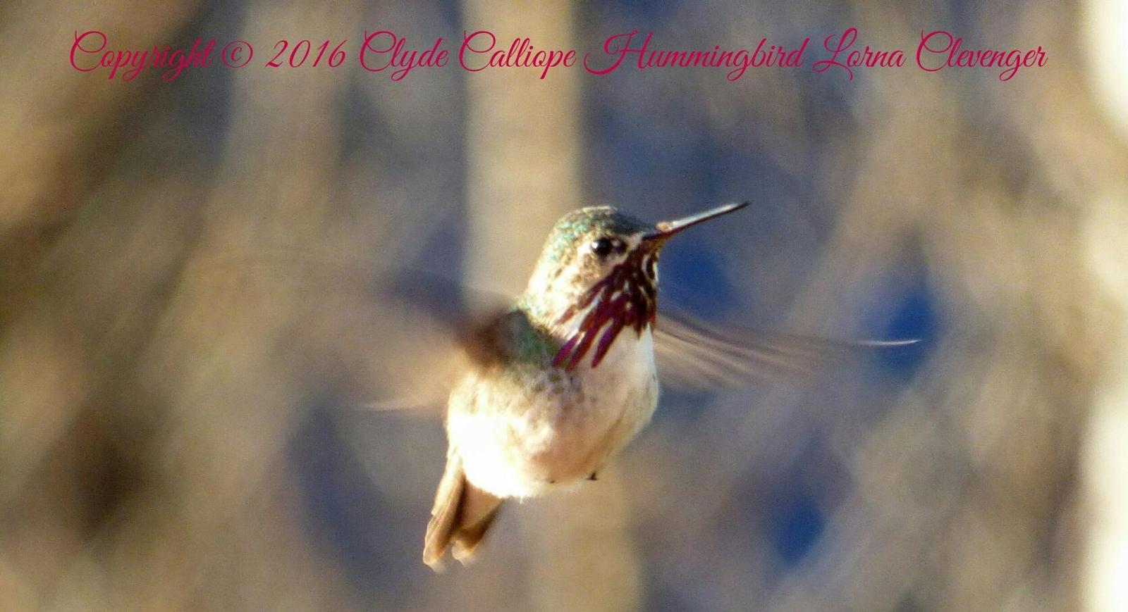 Calliope Hummingbird Photo by Lorna Clevenger