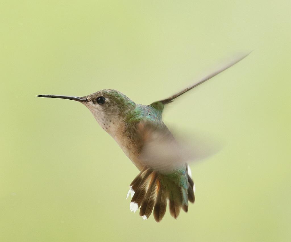 Calliope Hummingbird Photo by Vicki Miller