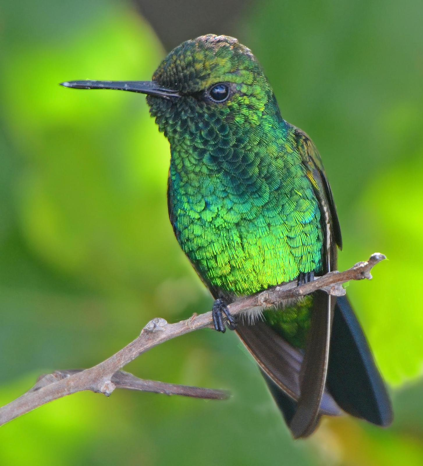 Blue-tailed Emerald Photo by Steven Mlodinow
