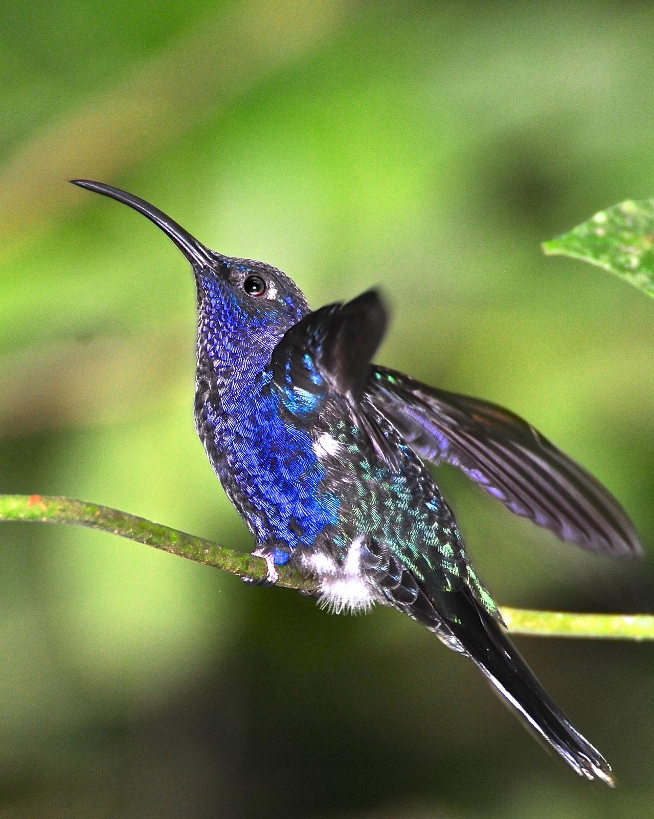 Violet Sabrewing Photo by Gerald Friesen