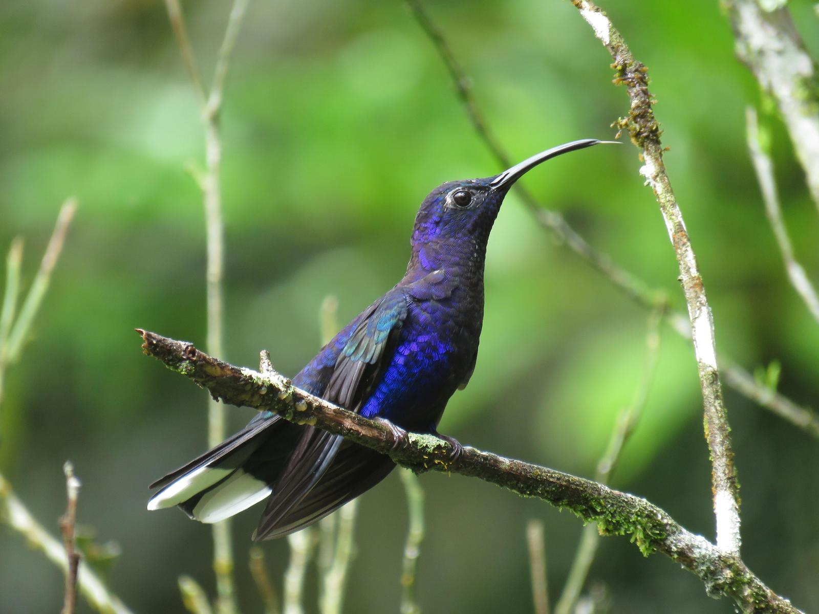 Violet Sabrewing Photo by John van Dort