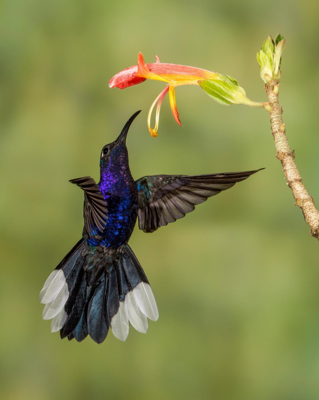Violet Sabrewing Photo by Harold Davis