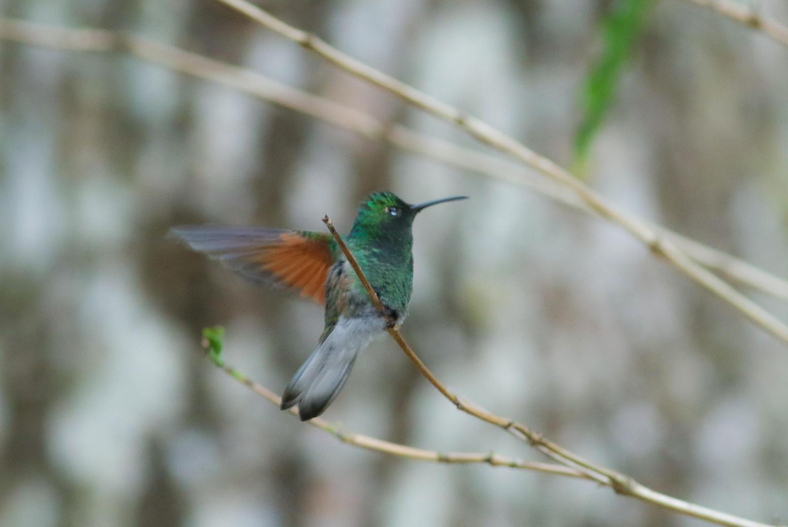 White-tailed Hummingbird Photo by Leonardo Garrigues