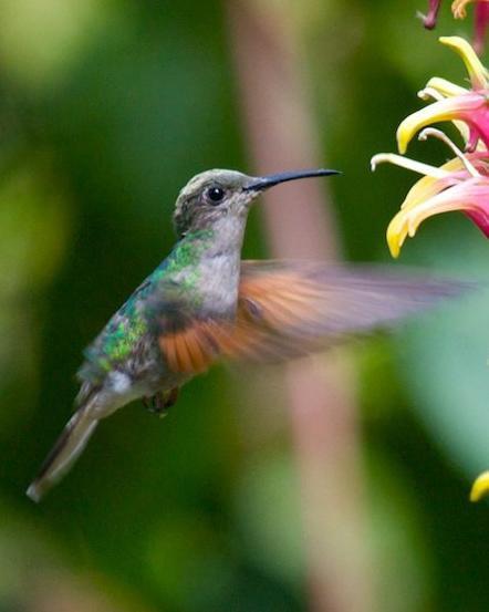 White-tailed Hummingbird Photo by Matthew Brady