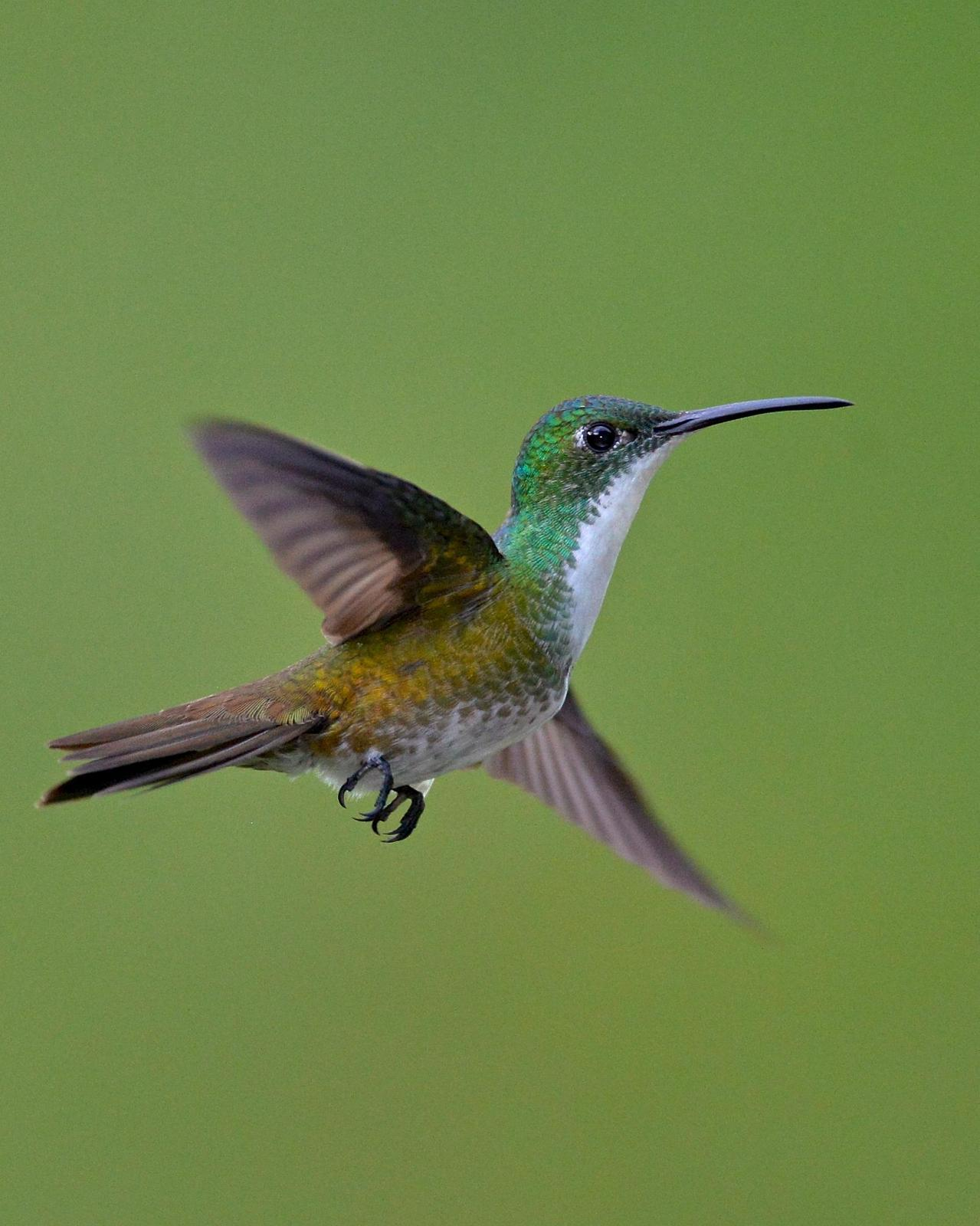 White-chested Emerald Photo by Gerald Friesen