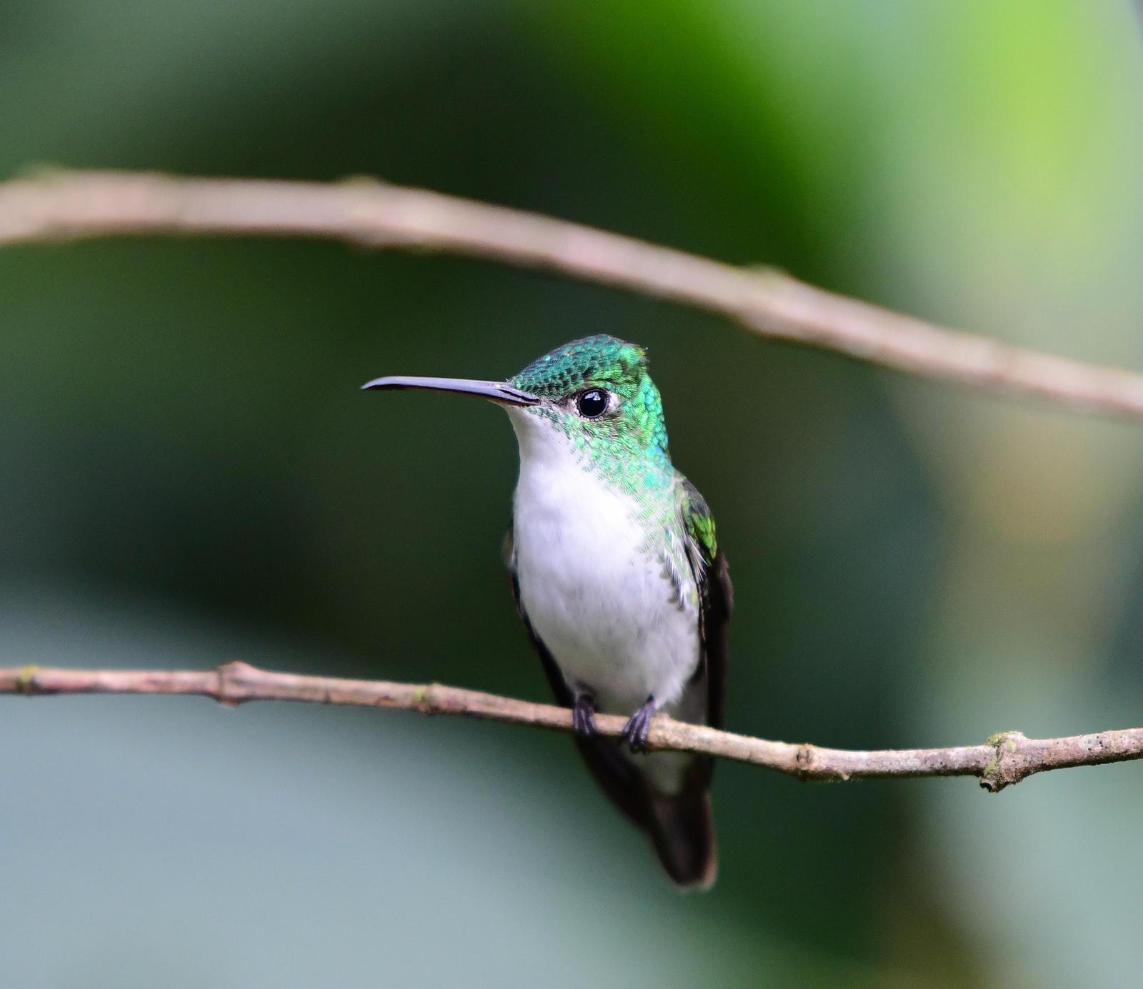 Andean Emerald Photo by Jacob Zadik