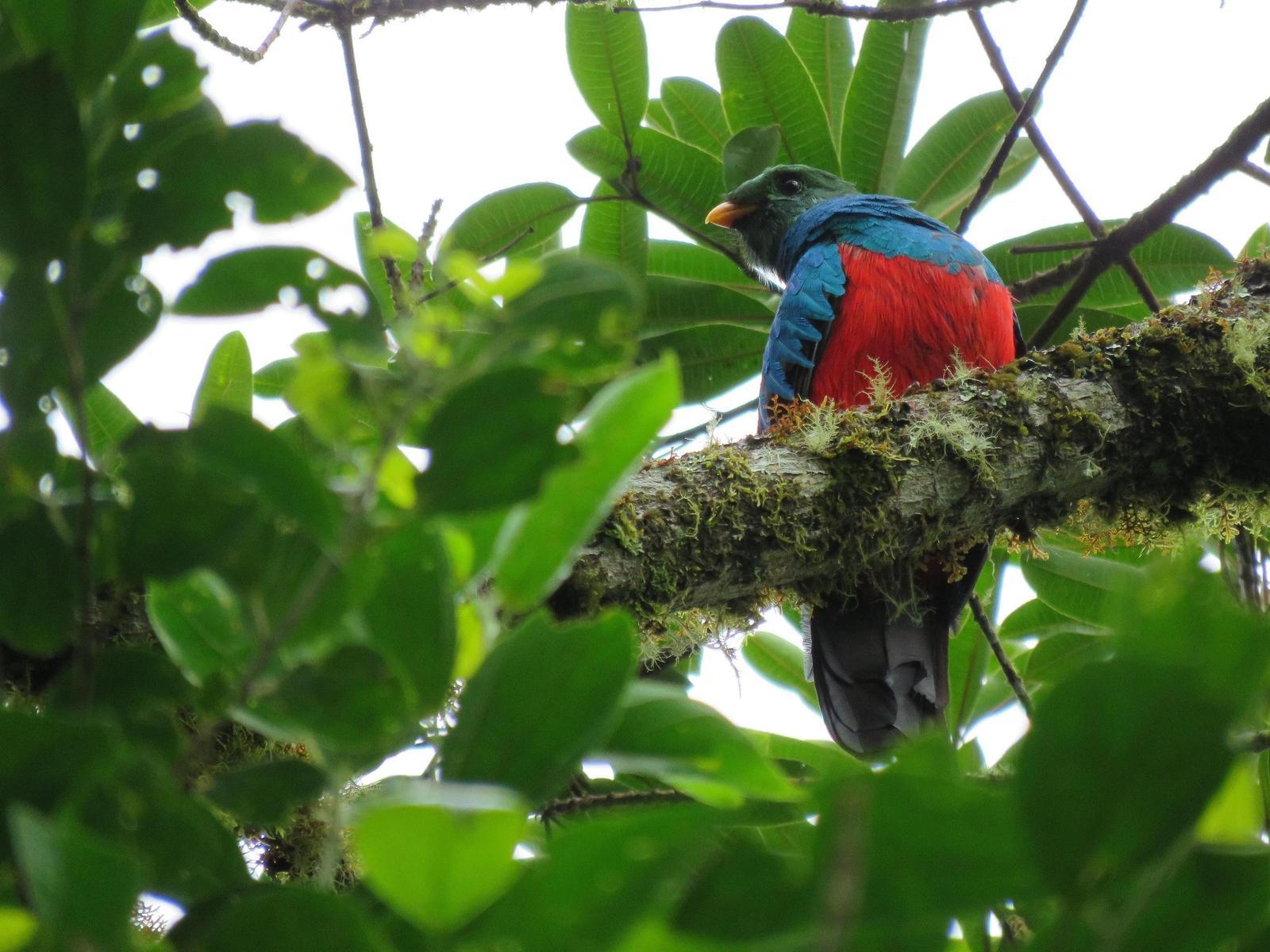 Golden-headed Quetzal Photo by Mauricio Zanoletti