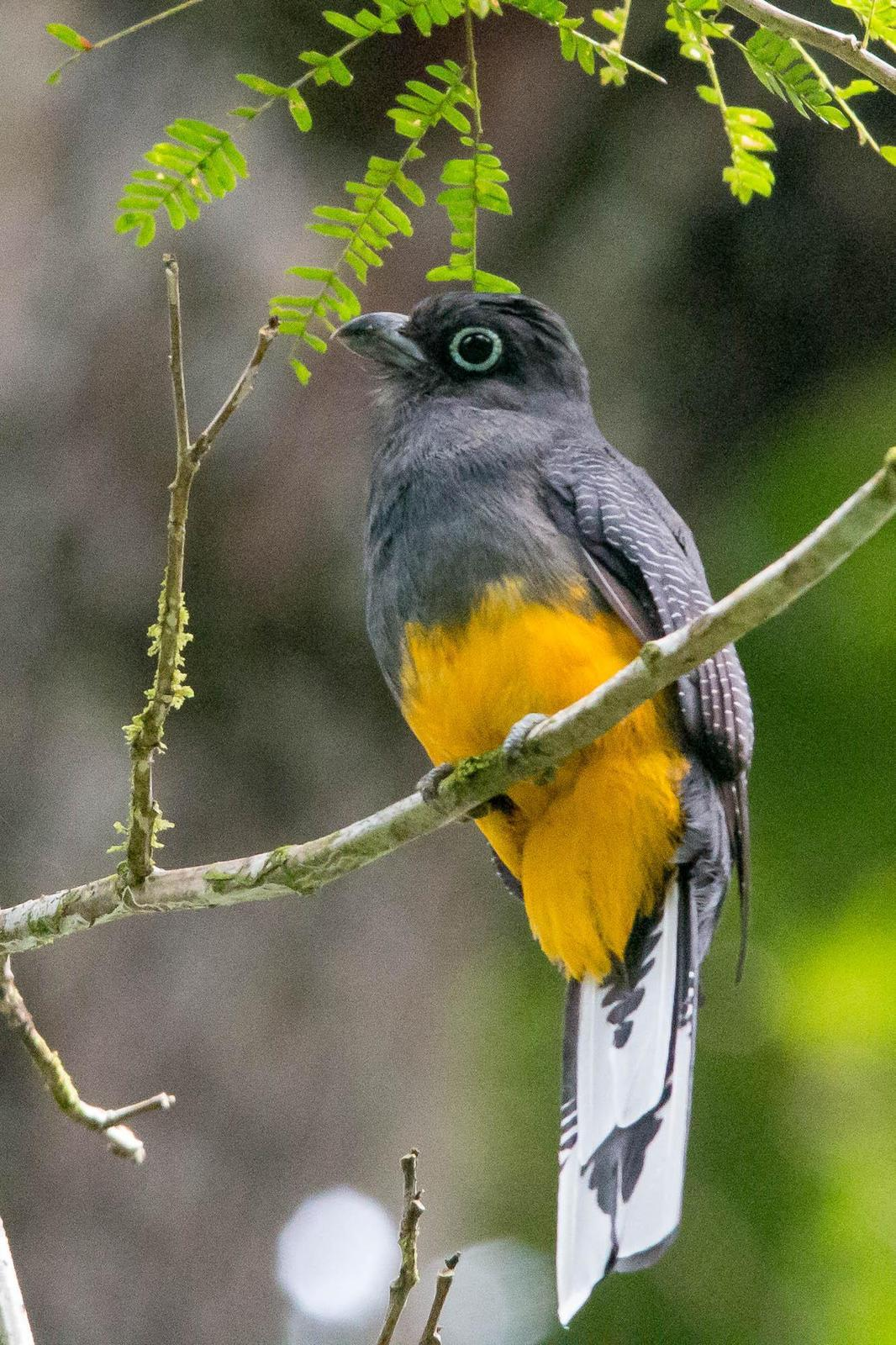 White-tailed Trogon Photo by Marie-France Rivard