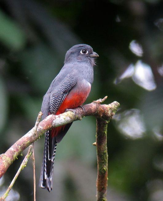 Blue-crowned Trogon Photo by Andre  Moncrieff