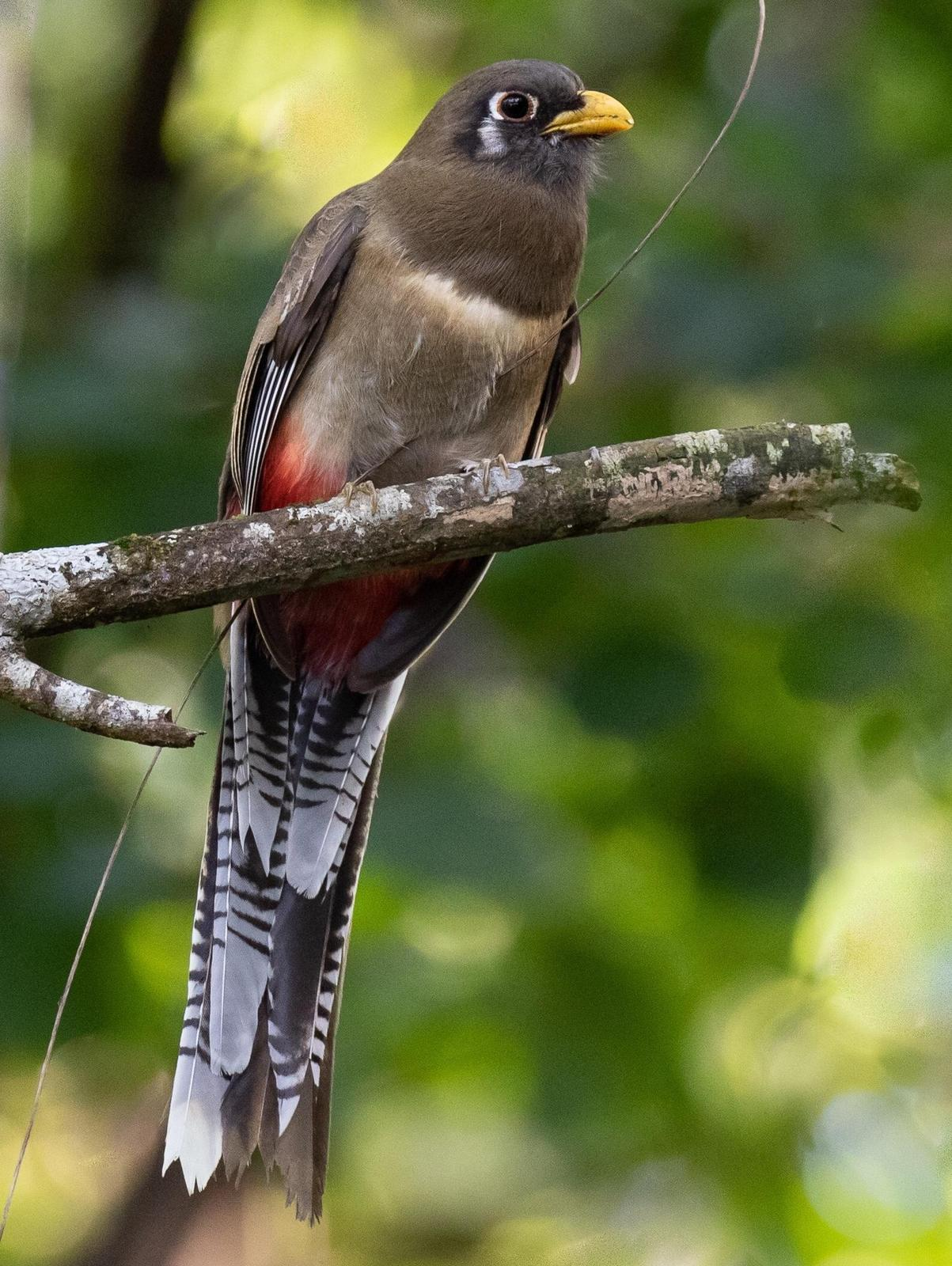Elegant Trogon Photo by Kate Persons