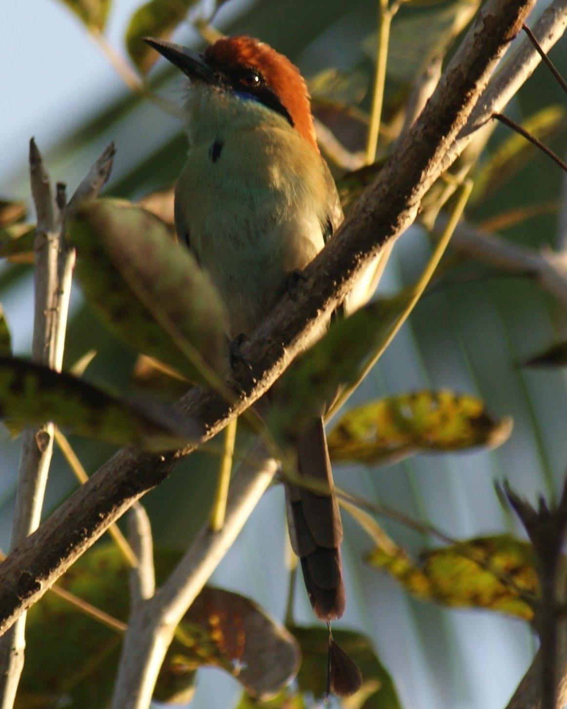Russet-crowned Motmot Photo by Robin Oxley