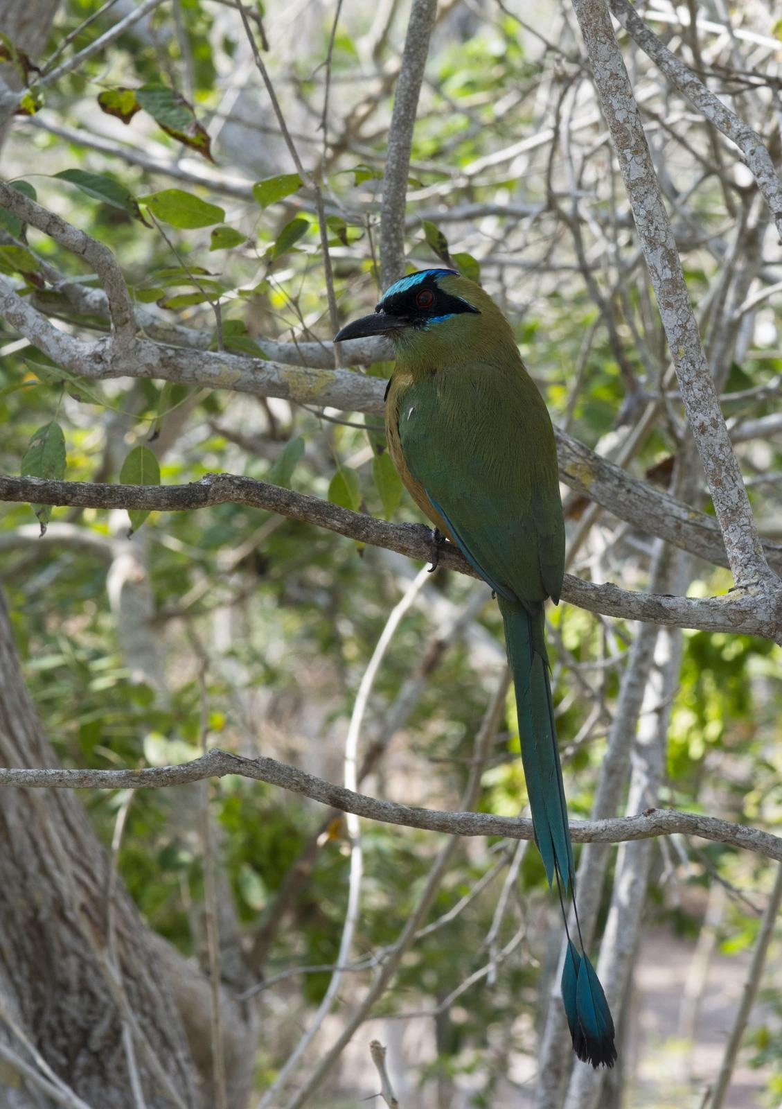 Whooping Motmot Photo by Jacob Zadik